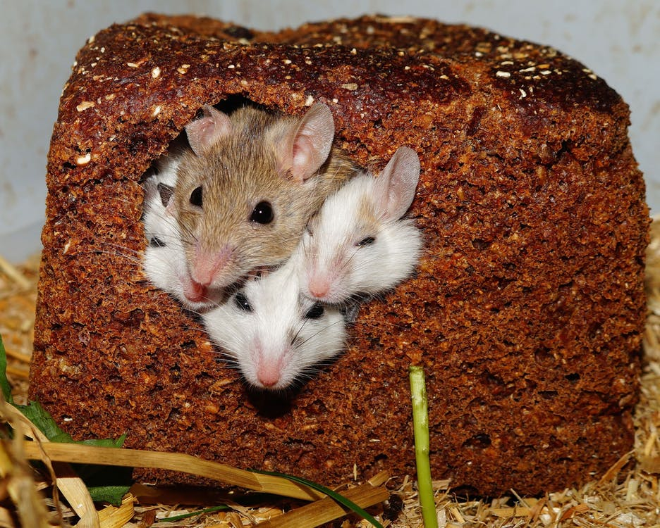 mastomys-mice-nager-rodents-55840